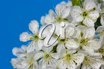 Royalty Free Photo of Cherry Blossoms