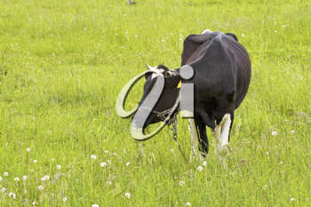Royalty Free Photo of a Cow in a Field