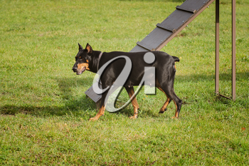 Doberman Pinscher in the dog agility area with a barrier