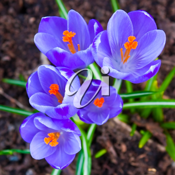 Crocus flowers in the soil