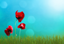 Sunny highlight on sky and green grass with red  poppy