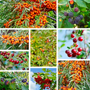 The berries of sea buckthorn, blackberry, wild rose, cherry, cranberry and leaves on a background of blue sky