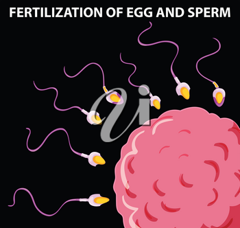 Diagram showing fertilization of egg and sperm illustration
