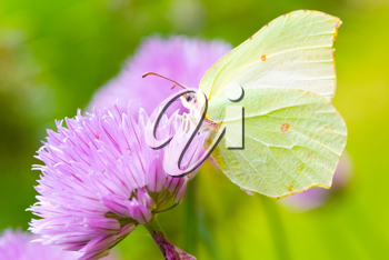 Brimstone butterfly on a chive flower