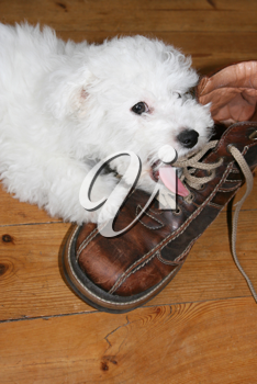 Naughty puppy licking shoelaces (bichon frise)