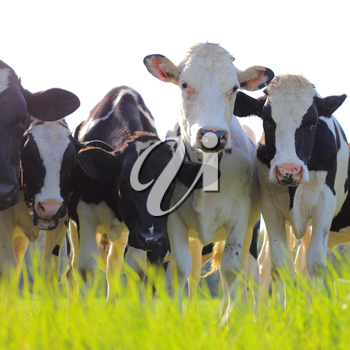 Holstein dairy cows stand in a pasture