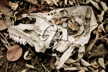 Piece of animal skull lying among the faded leaves