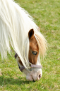 White small  horse eating grass , close up