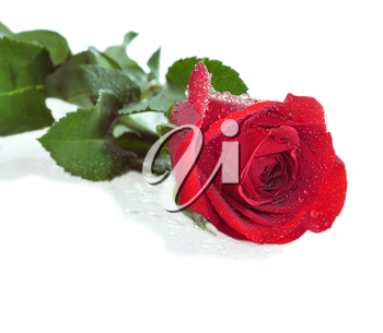 a red rose with water drops
