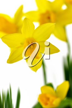 yellow daffodil flowers on a white background