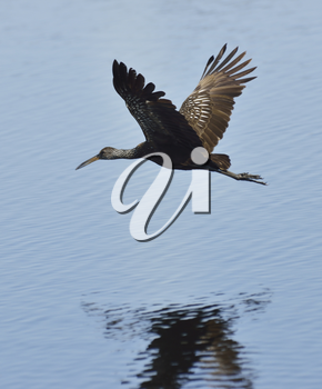 Limpkin Bird In Flight With Water Reflection