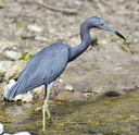 Little Blue Heron In Circle B Bar Reserve,Florida