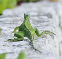 Green Iguana Walking On The Stone Wall