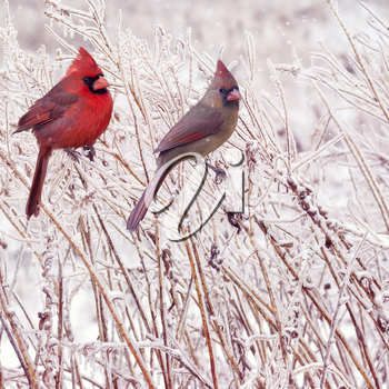 Male and Female Northern Cardinals in the winter
