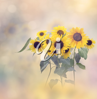 Decorative sunflowers in bloom for background