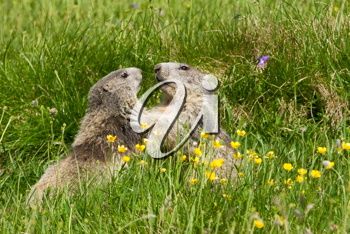 Two marmots fighting together in a prairie