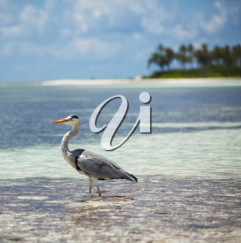 Royalty Free Photo of a Heron