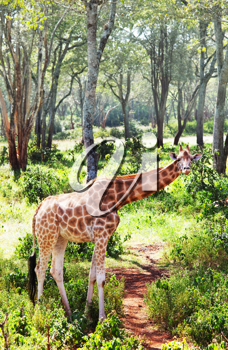 Royalty Free Photo of a Giraffe in the Savannah