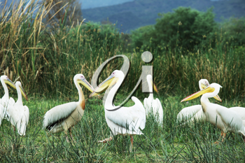 Royalty Free Photo of Pelicans in a Park