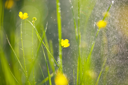 Royalty Free Photo of Rain on Buttercups