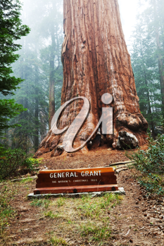 Royalty Free Photo of the General Grant Sequoia Tree
