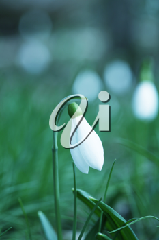 Royalty Free Photo of a Snowdrop
