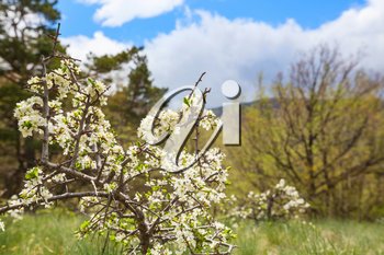 Blossoming tree in spring garden. Beautiful spring natural background.