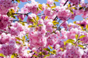 Royalty Free Photo of a Cherry Blossoms