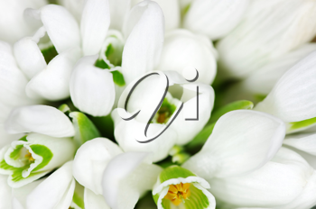 Spring snowdrop flowers  closeup background