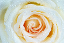 macro of white rose with water drops