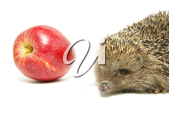 apple and hedgehog isolated on white
