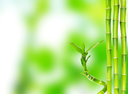 beautiful bamboo isolated on green background
