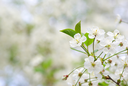 Close up of the spring cherry blossoms