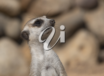 Meerkat or suricate is a small carnivoran belonging to the mongoose family.