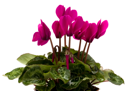 cyclamen plant isolated on white background