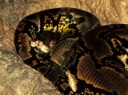 Royalty Free Photo of a Reticulated Python