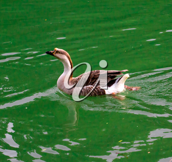 goose on pond in nature