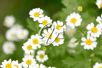 beautiful daisy flowers in nature