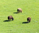 sheep in the pasture on the nature