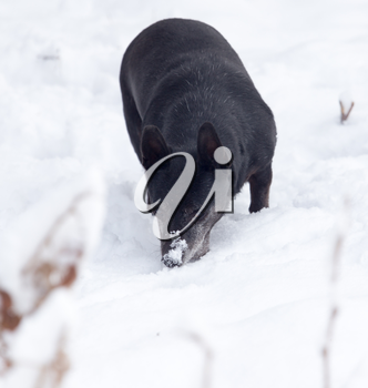 black dog on the white snow