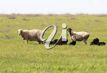 sheep in the pasture in nature