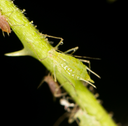 aphids on the plant. close