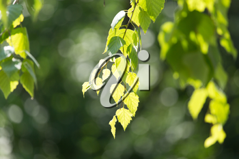 leaves of birch in nature