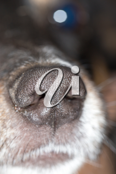 the nose of a dog. macro