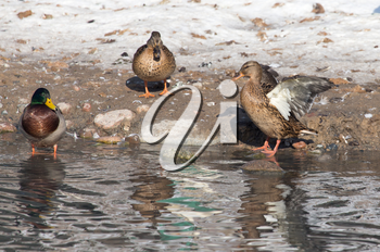 ducks in a lake in nature