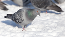 flock of pigeons on snow outdoors