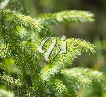 spruce branches on a nature background