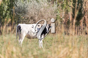 cow in a pasture