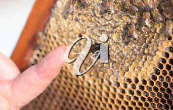Honey on his finger in the apiary