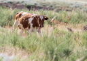 cow grazing in a pasture